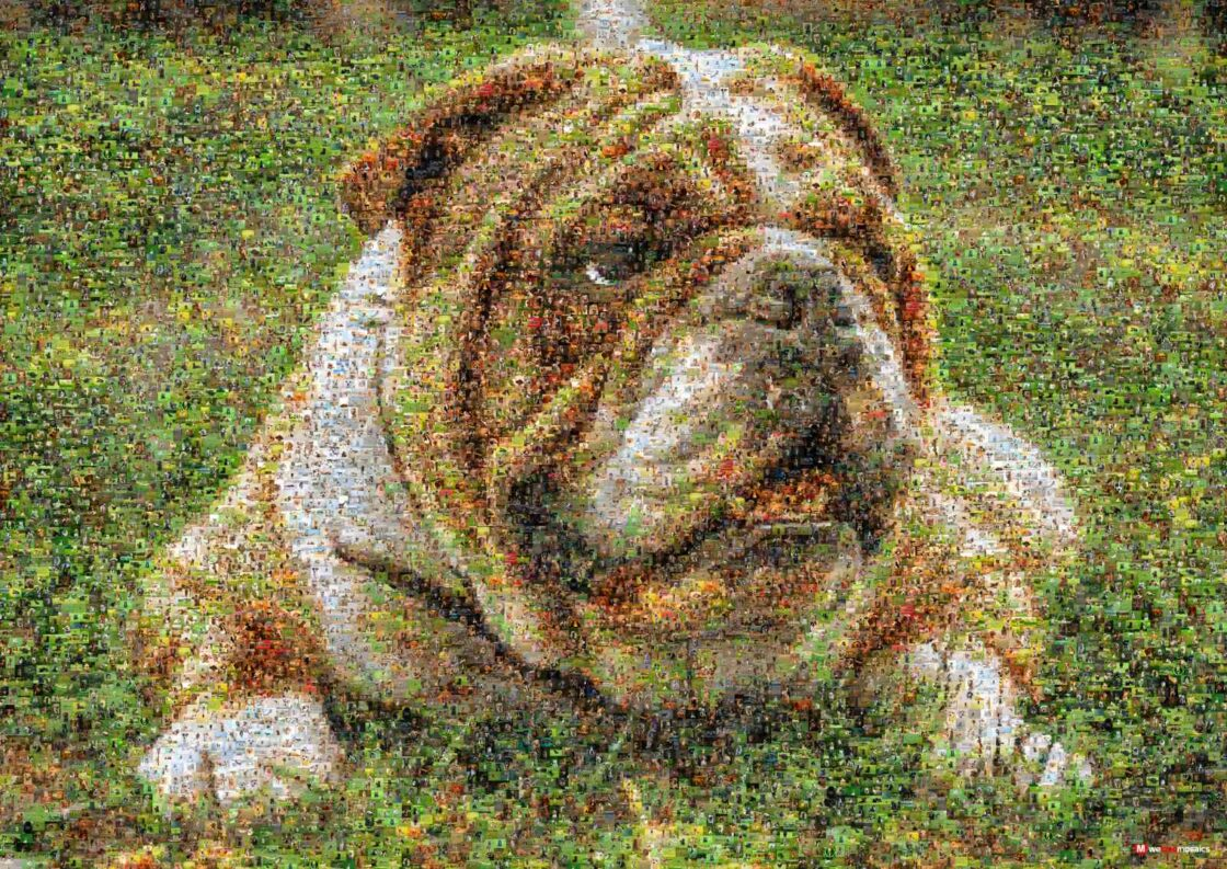 This muscular, hefty dog with a wrinkled face and a distinctive pushed-in nose is bursting with excitement!